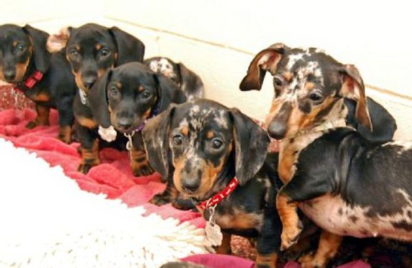 29 Dachshunds And 1 Pomeranian Rescued From New Hampshire Home