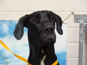 Mica Is An Adoptable Great Dane Dog In Tucson Az Black Great Dane Dogs Pet Station Dog Adoption