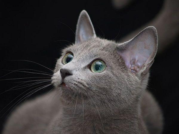 Mesopotamian Blue Cat Breed Size Pets Blog