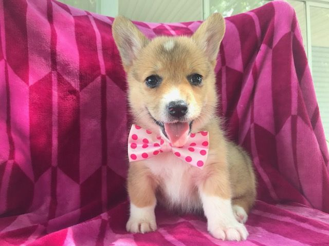 Pembroke Welsh Corgi Puppy For Sale In Port Deposit Md Adn 43402