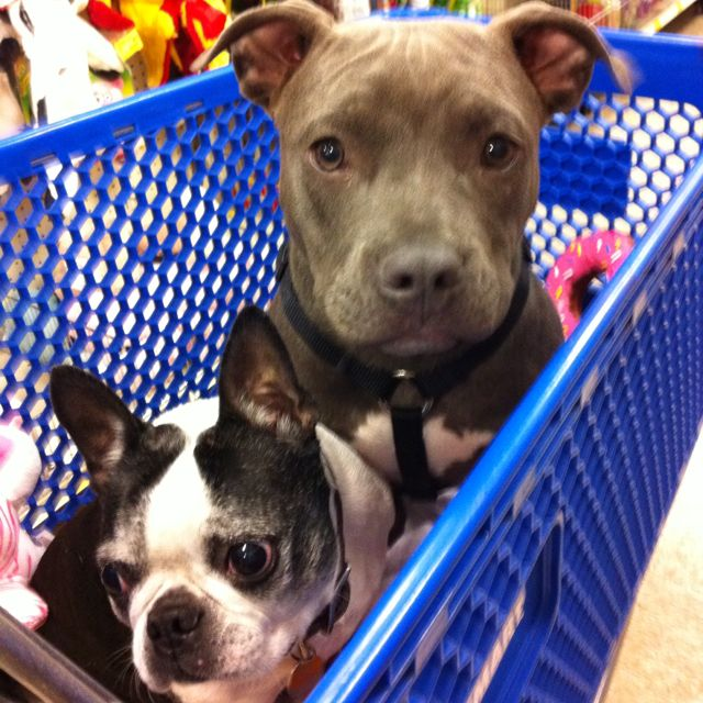 Trixie And Baby Girlfriends Shopping At Petsmart Boston Terrier Dog Rules Animal Lover
