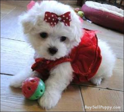 Puppies For Adoption Free Puppies For Adoption Bichon Frise In Colorado Springs Maltese Dogs Cute Dogs Havanese Puppies