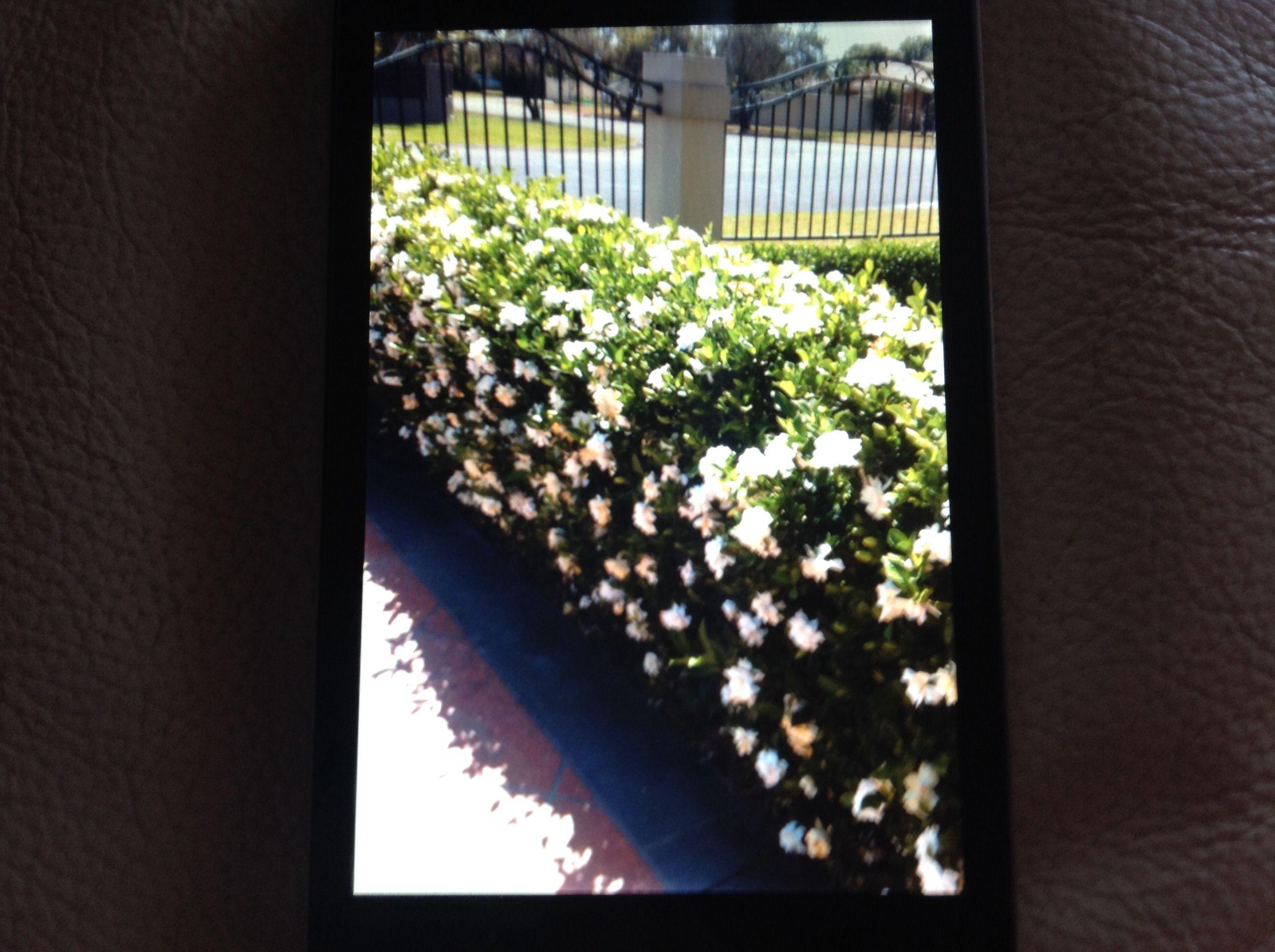 Gardenia Sweet Scented Low Hedge The Garden Hedge Garden
