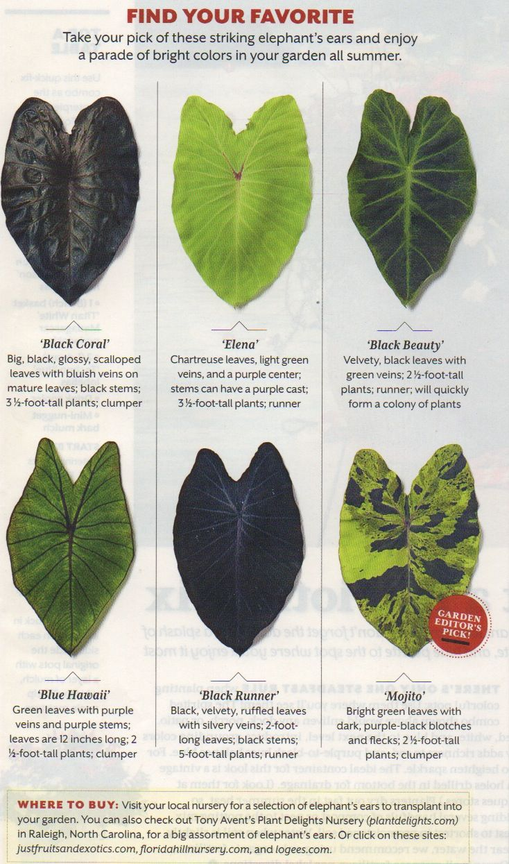 Love Colocasias And Alocasias Plants Elephant Ear Plant House