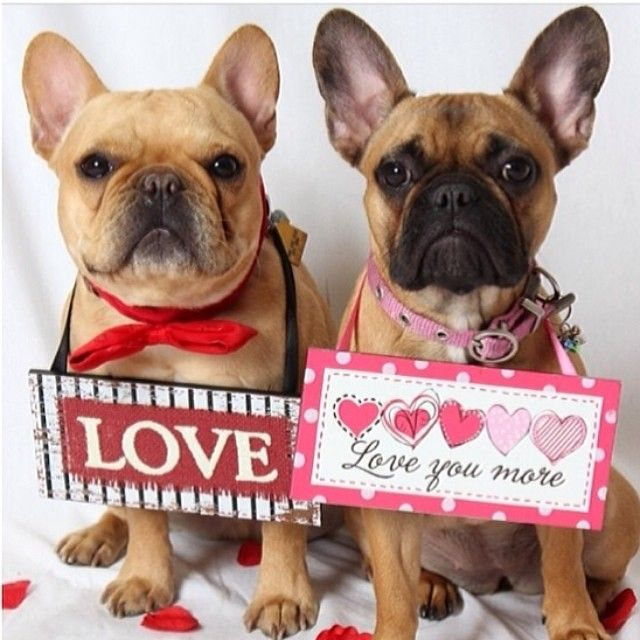 Love Love You More French Bulldogs On Valentines Day