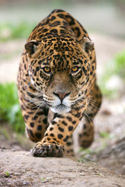 Pin By Mark Brackney On Animals Pets Wild Cats Big Cats Endangered Animals