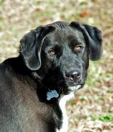 Adopt Nugget On Labrador Retriever Dogs Husky Mix