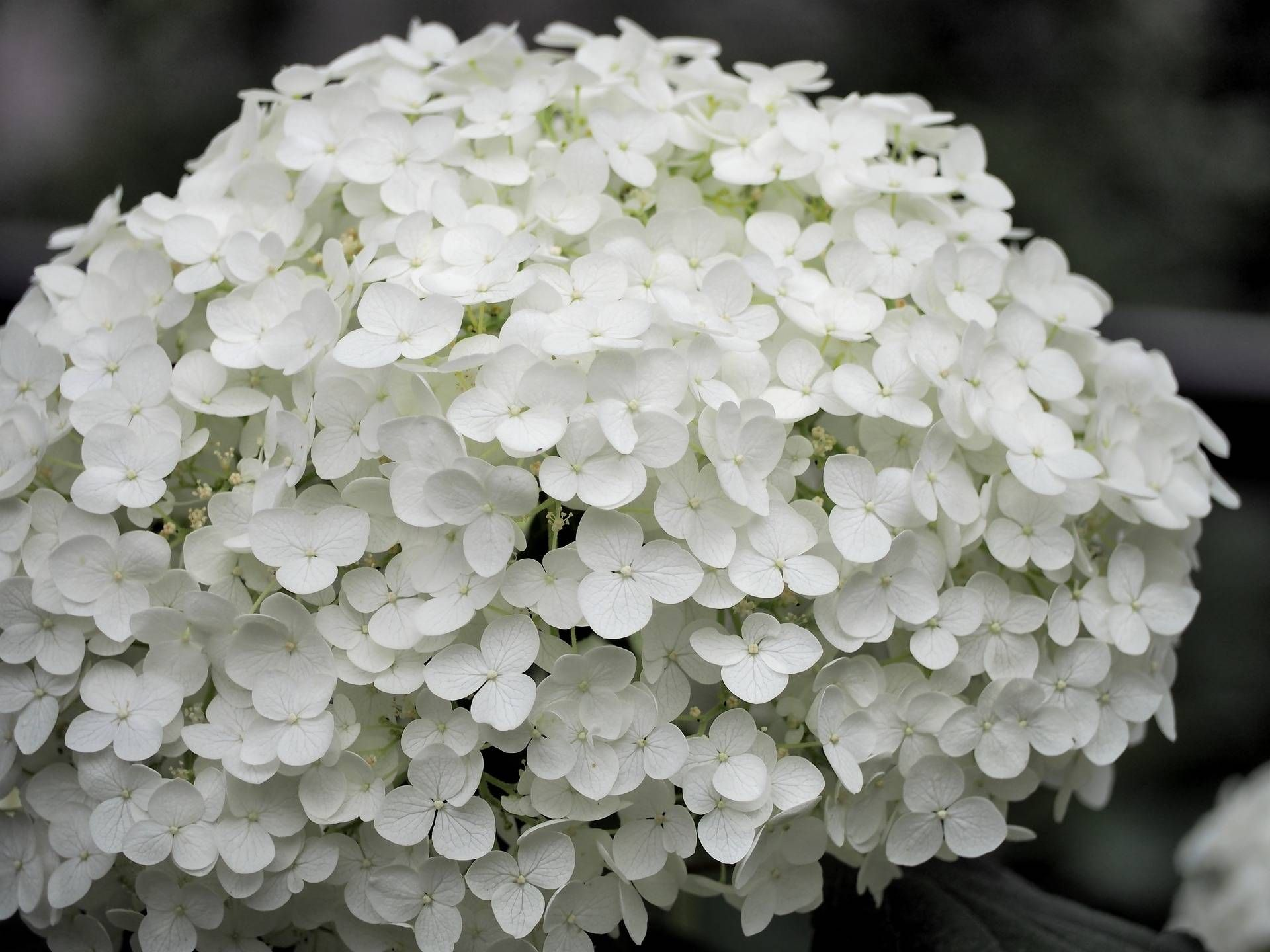Hortensia Endless Summer Kopen Langbloeiende Hortensia Hydrangea Macrophylla Endless Summer The