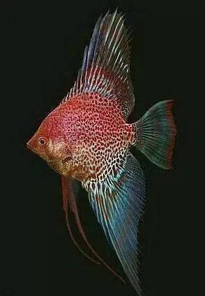 Escalar Leopardo Rojo Angel Fish Tropical Freshwater Fish Tropical Fish