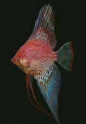 Escalar Leopardo Rojo Angel Fish Tropical Freshwater Fish Tropical Fish