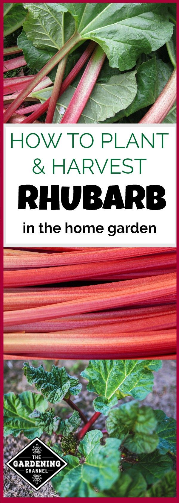 How to plant rhubarb in the fall - Have You Thought About Planting And Growing Rhubarb Rhubarb Is Best Planted Dormant In Fall