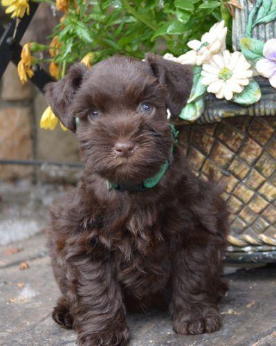Brown Miniature Schnauzer Puppies Miniature Schnauzer Puppies Schnauzer Puppy Mini Schnauzer Puppies