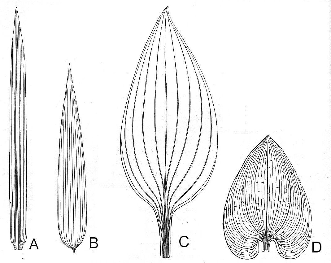 Monocot Leaves