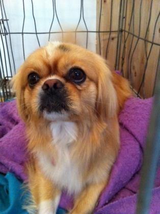 Adopt Hansel On Dog Adoption Little Dogs Spaniel Dog
