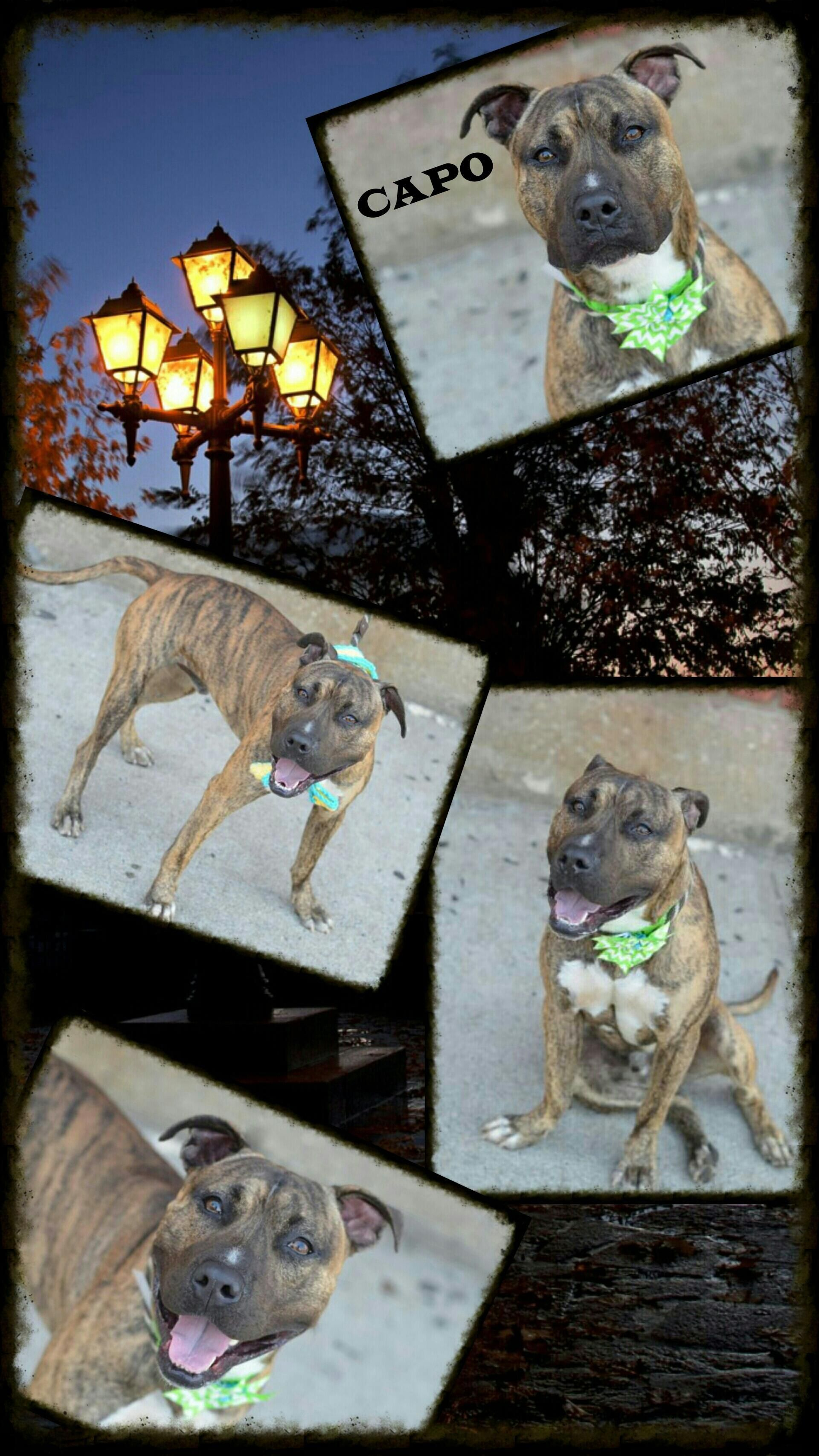 Capo A1049670 Help Us Save Nyc Ac C Shelter Dogs Pet Adoption Dogs Up For Adoption Shelter Dogs