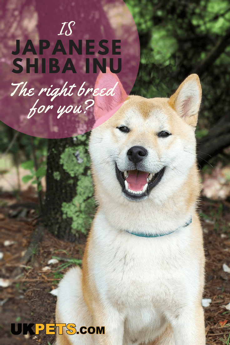 The Japanese Shiba Inu Is An Alert Bold And Playful Dog Usually Good Natured When Raised Properly It Forms A Strong Bond With Its Owners And Dog Breeds Medium