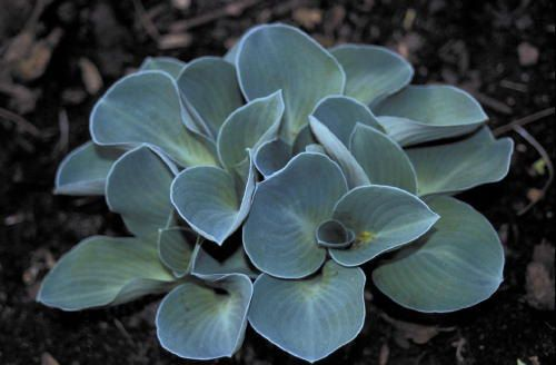"HOSTA 'Blue Mouse Ears' 5"" POTTED PLANT  - Tiny Powder blue foliage/lavender flower late summer on Etsy, $8.00"