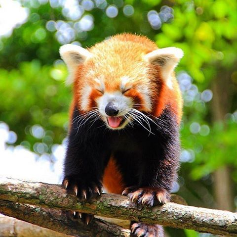 The Magic Of The Internet Red Panda Panda Panda Bear