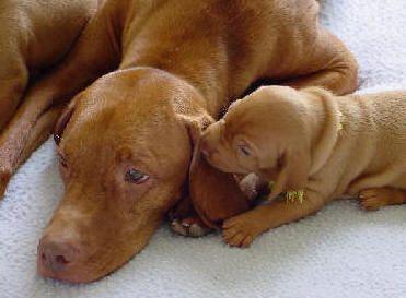 Awwwwwwwww Vizsla Vizsla Dogs Puppies