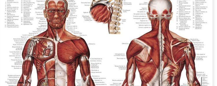 Back Neck And Shoulder Diagram - Wiring Diagram •