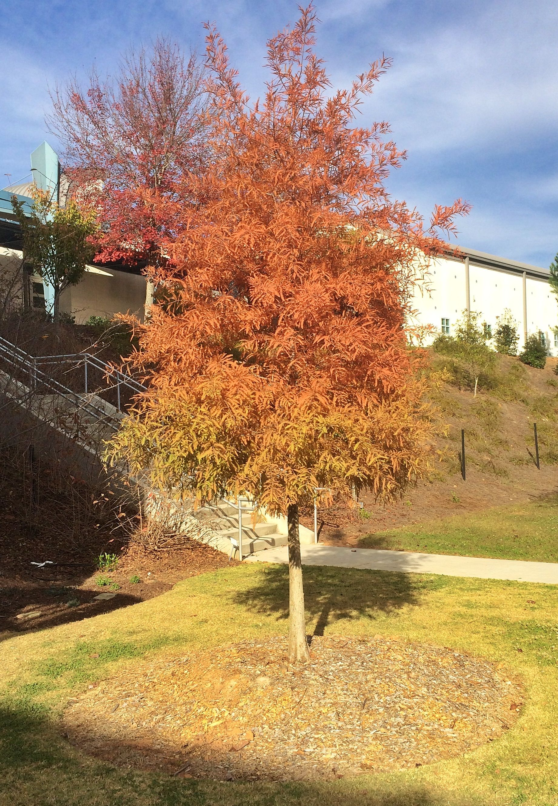 Bald Cypress in fall color near the Forsyth Conference