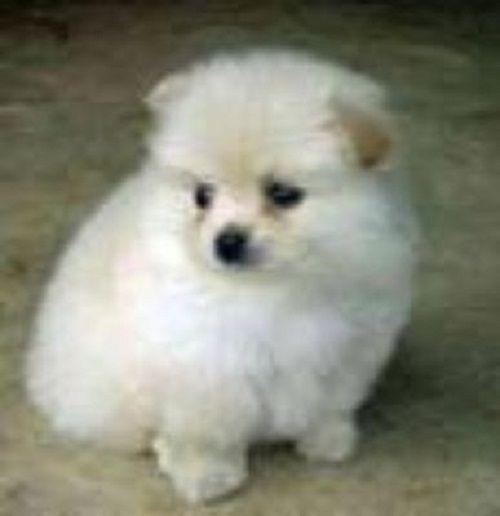 Pomeranian Puppies For Sale In Atlanta Zoe Fans Blog