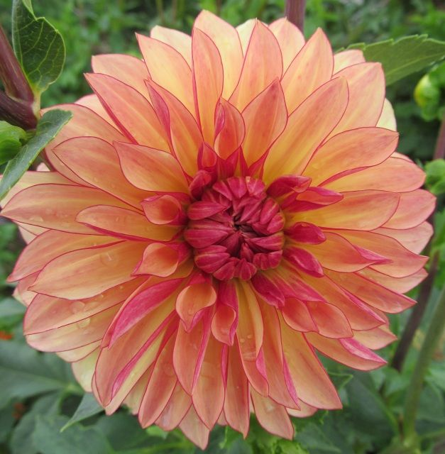 New Dahlia Varieties at The Painted Tulip