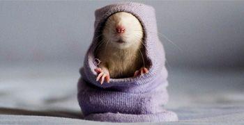Normaal gesproken hebben de meeste mensen niet zo veel met ratten, maar als je ze zo ziet liggen dan krijg je toch een heel ander beeld.