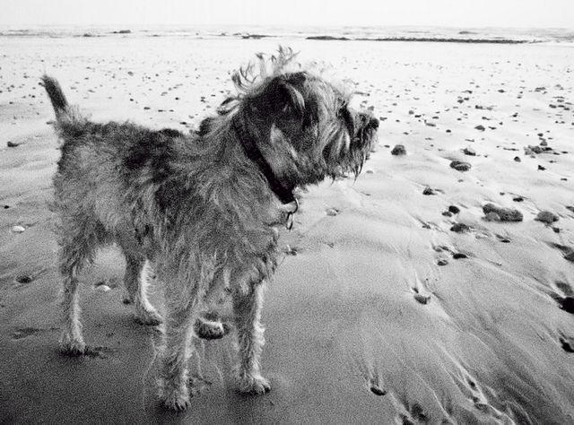 Mutley The Border Terrier Border Terrier Terrier Best Dog Breeds