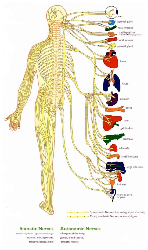 Central Nervous System Diagram For Kids My Bookshelf Pinterest