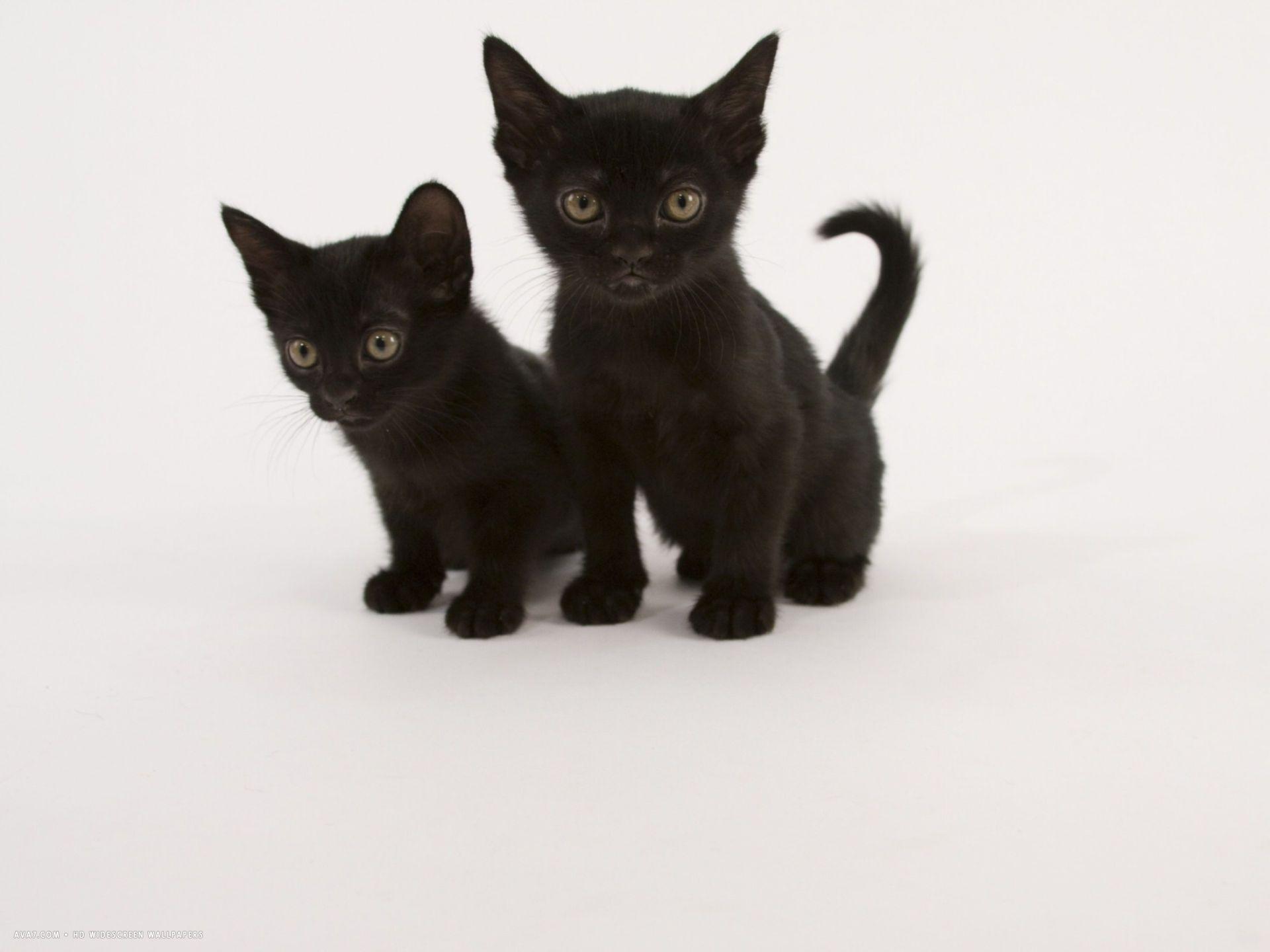 Two Cute Black Bombay Cat Kittens Black Kitten Cats Cat Obsession