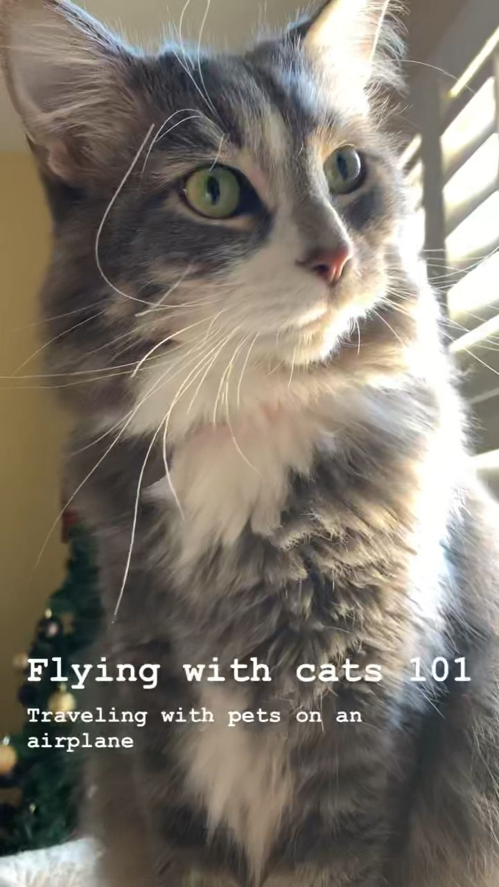 Flying with a Cat 101 Traveling with Pets on an Airplane