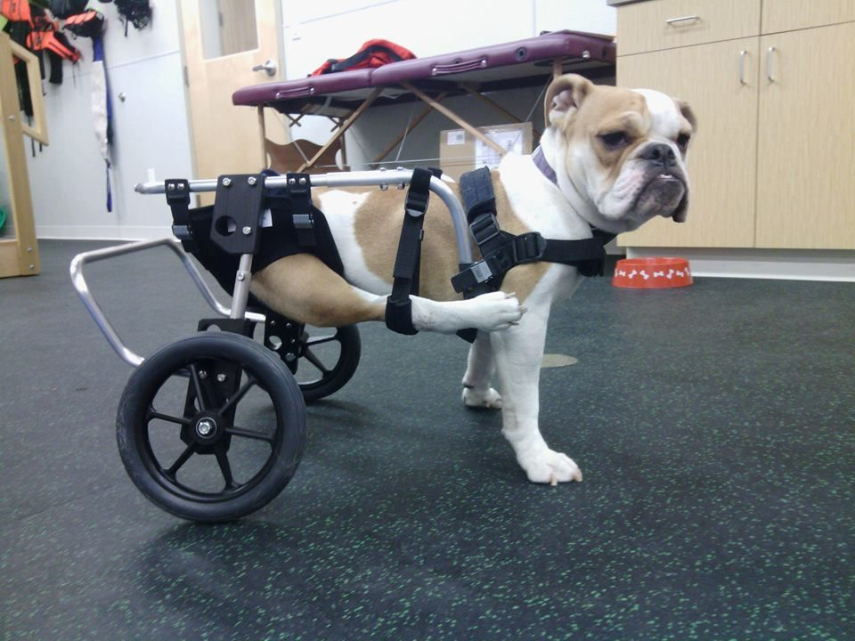 Custom Dog Wheelchair Front Rear Or Full Support Dog