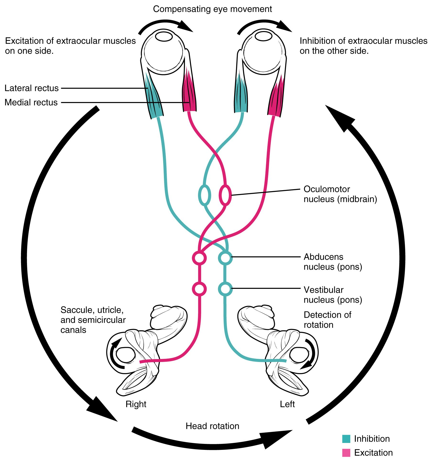The Vestibular System and EOMs
