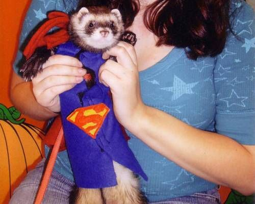 Halloween pet costumes: Super Ferret | MNN - Mother Nature Network