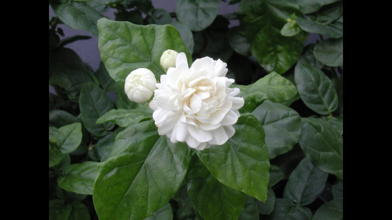 Growing jasmine jasminum sambac gardening pinterest plants growing jasmine jasmine sambac these easy to grow sambac varieties of jasmine are some of the most free flowering and heavily scented jasmines in izmirmasajfo Choice Image
