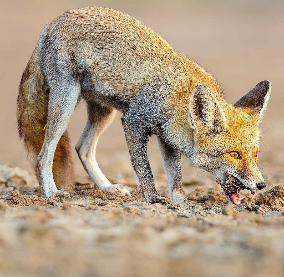 ثعلب الصحراء يستمتع بوجبته في صحراء ران اوف كوتش الملحية بولاية غوجارات في الهند ي طلق عليه أيضا اسم الفنك التي تعني Wildlife Photography Wildlife Fox