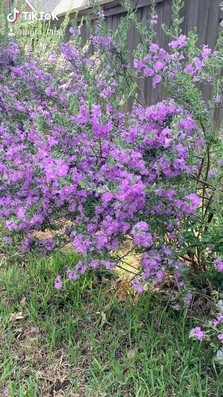Texas Sage is in Bloom