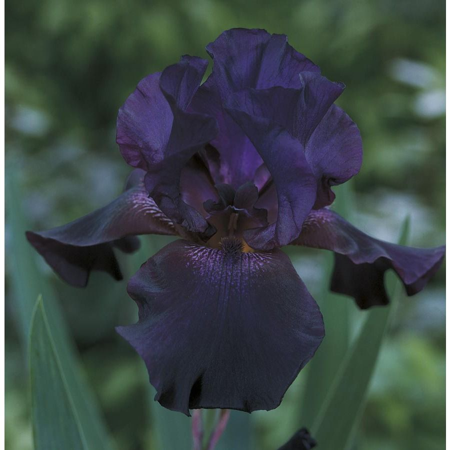 Superstition Bearded Iris L14714 Bearded Iris Backyard Landscaping Iris