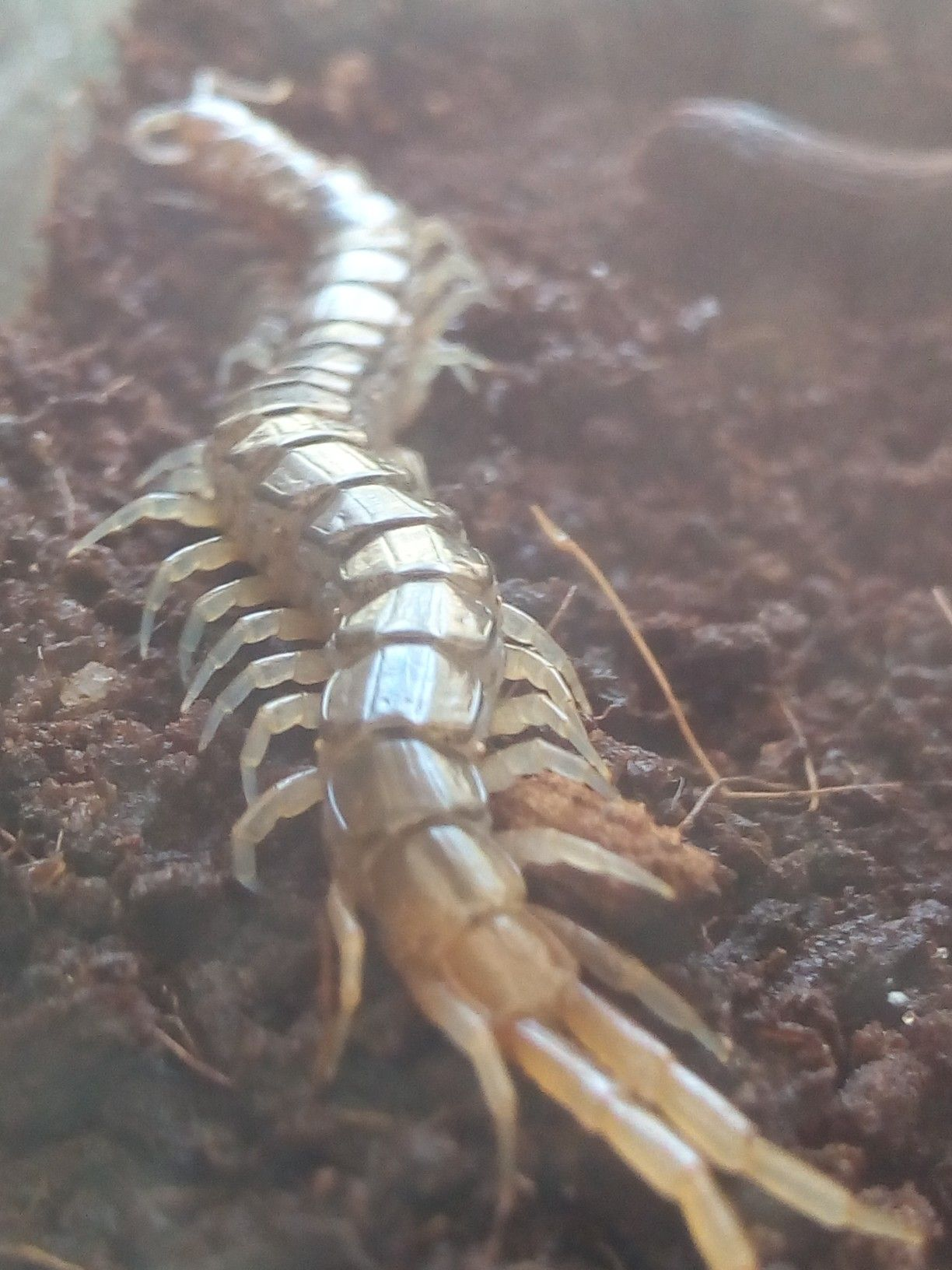 African yellowtail centipede centipede insects