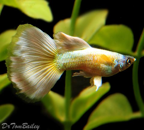 Guppies Including Fancy Show And Super Guppies Guppy Fish Guppy Tropical Fish