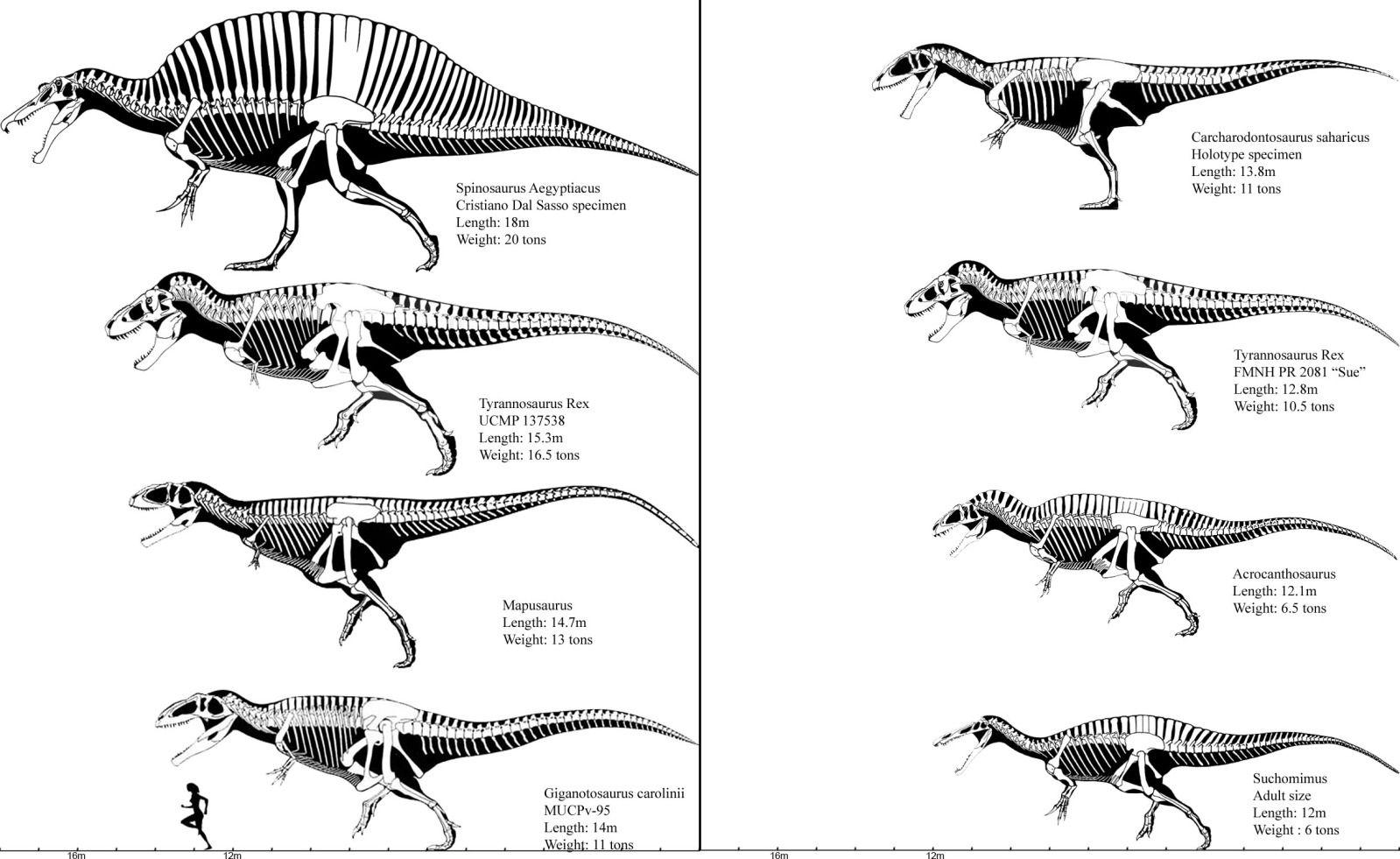 Utahraptor Skeleton