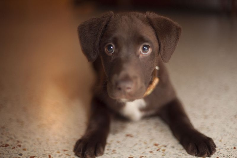 Too Cute Lab Mix Puppies Puppies And Kitties Puppies