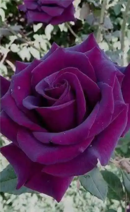 Rose violette   Planter des fleurs, Belles fleurs roses, Jardin rose