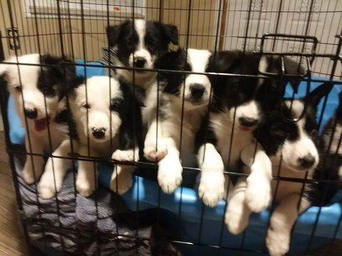 Litter Of 6 Border Collie Puppies For Sale In Groveland Fl Adn