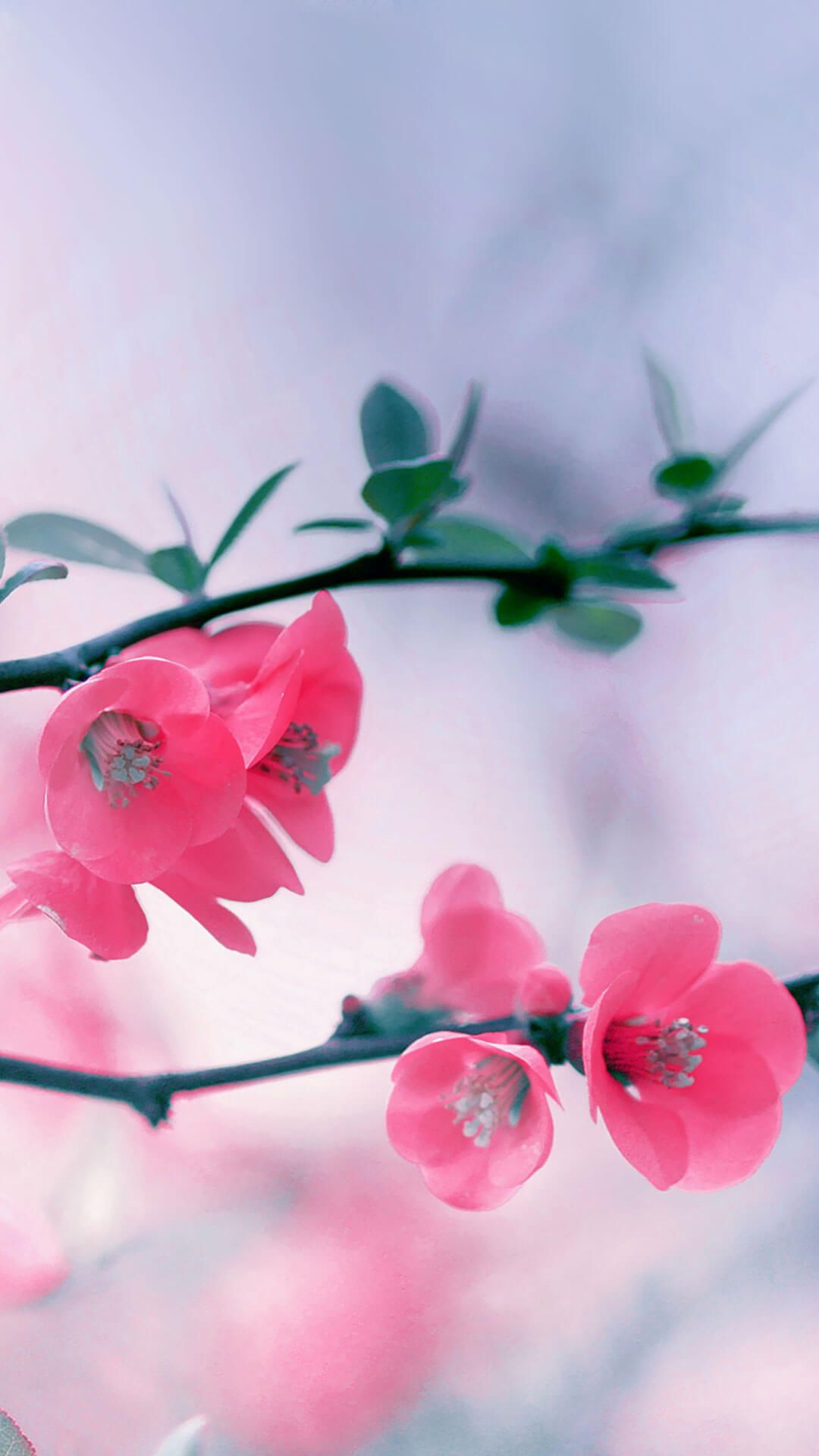 cherry blossom flowers iphone 6 wallpaper hd