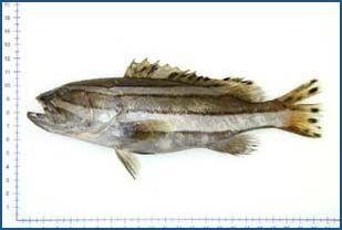 Epinephelus latifasciatus - Striped Grouper 蔬蘿斑