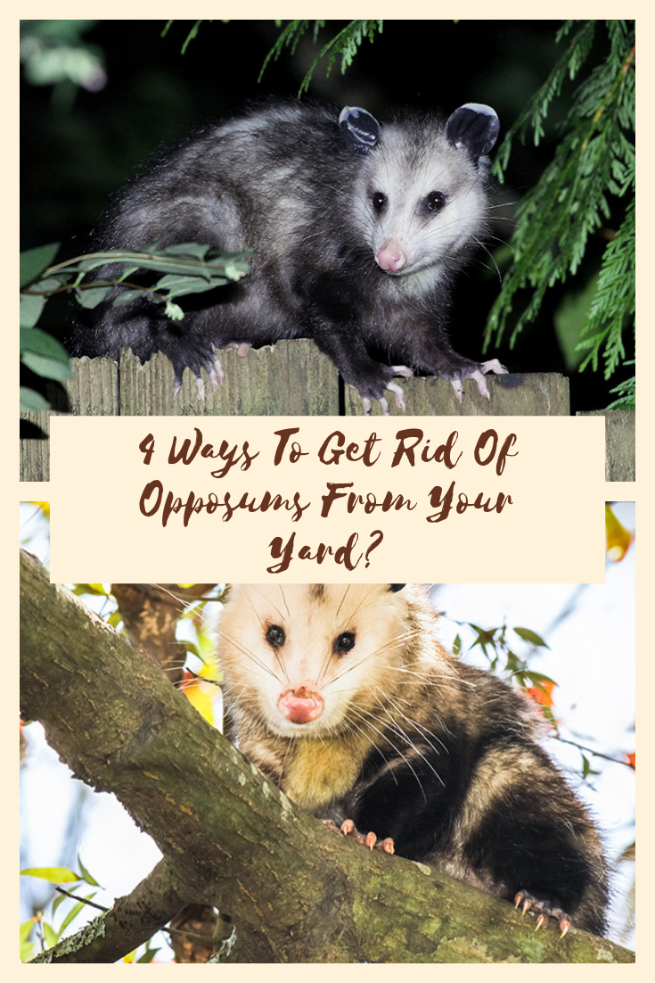 4 Ways To Get Rid Of Opposums From Your Yard | Rid, How to ...