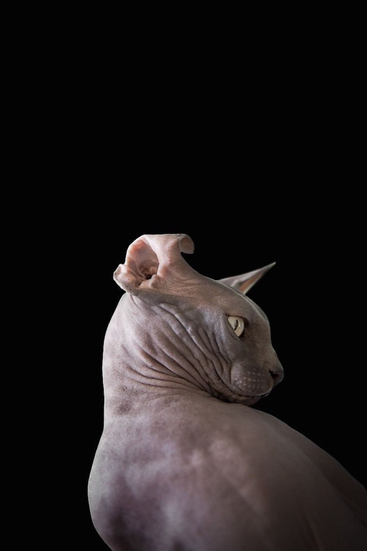 Sphynxes A Portrait Series That Captures The Eerily Anthropomorphic Nature Of Hairless Cats Hairless Cat Sphynx Cat Hairless Cat Sphynx