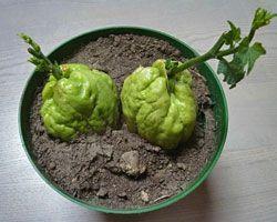 plante exotique chouchou